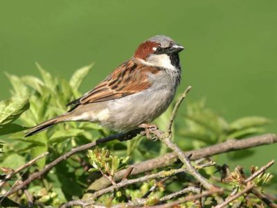 italian short story sparrow